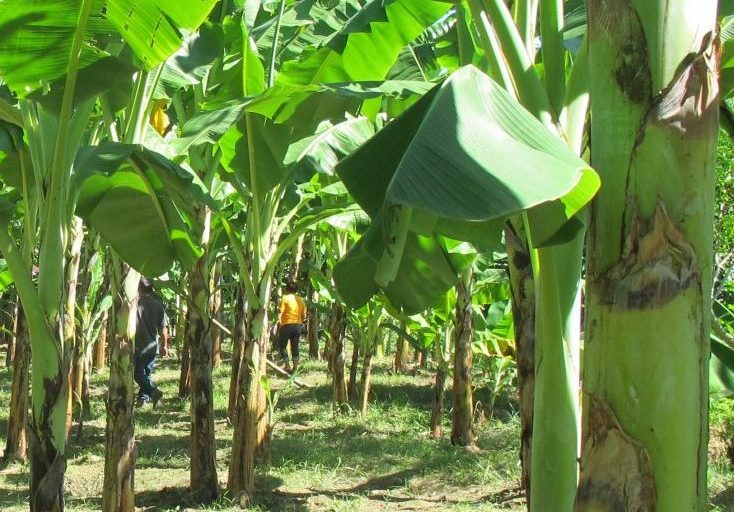 How To Start Lucrative Plantain Farming In Nigeria
